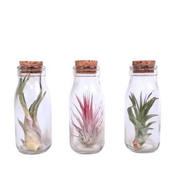 3x Luchtplantjes glas met kurk in giftbox