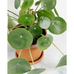 3x Pannenkoekenplant